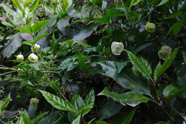 他の植物に絡みついていました。 2012.05.01 神奈川県