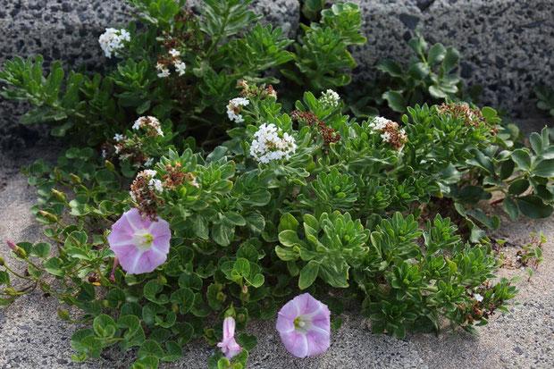 スナビキソウ ハマヒルガオと一緒に咲いていた。 見頃の時期は過ぎてしまっていた