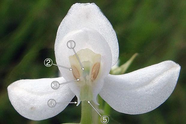 #4 オオミズトンボの花の各部の名称(正面2)