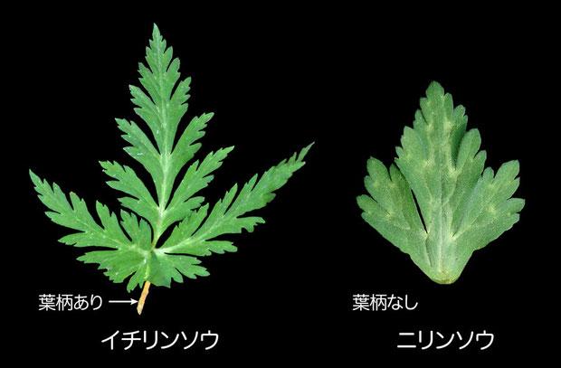 #7 イチリンソウとニリンソウの茎葉の形状比較