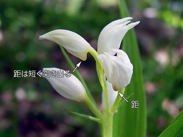 ササバギンランの距はギンランと比較して短く突き出る 2005.06.12 長野県諏訪郡