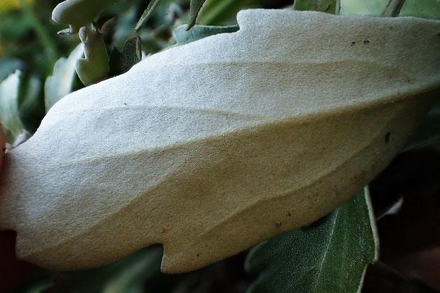 葉の裏面には 細かな毛が密生し、白銀色に見えます。太陽光の地面からの反射を軽減する目的でしょうか