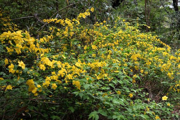 ヤマブキ (山吹) バラ科 ヤマブキ属  樹高1〜2mほどの落葉低木