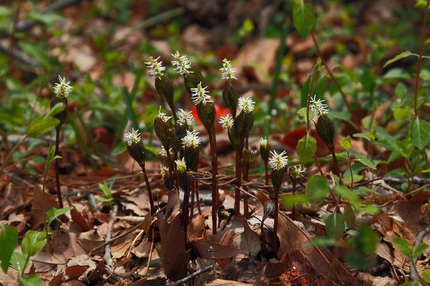 ヒトリシズカ (一人静) センリョウ科 チャラン属  後方の赤いものはクサボケの花