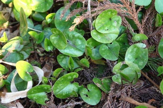 葉は広卵形〜腎形で基部は心形。 図鑑の記述と異なり、薄いながらも斑紋がありました
