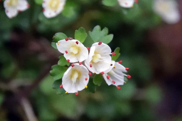 暗紅色の葯が白い萼に映えます。 花粉は黄色(シロバナネコノメソウの花粉は白色)