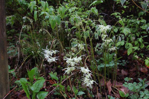 キバナイカリソウ (黄花錨草) メギ科 イカリソウ属  まだ元気な花もいました