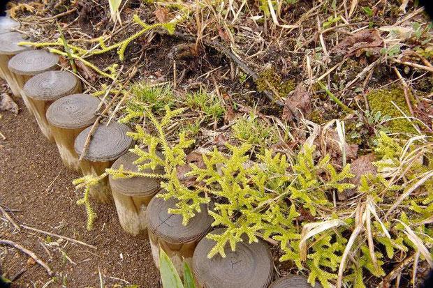 ヒカゲノカズラ (日陰葛) シダ植物です