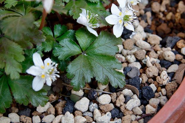 キタヤマオウレンとされる植物の葉は、すべて5深裂していました。 ただし小葉柄は短く、不明瞭です(キタヤマオウレンの特徴)。