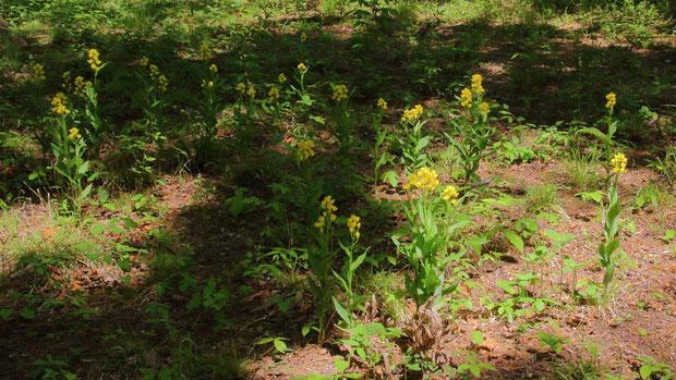 今年もたくさんキンランが咲いてくれた。 絶滅危惧Ⅱ類の植物とは思えないほど多く咲く