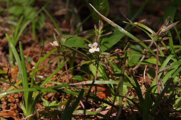 クチナシグサ (梔子草) ハマウツボ科 クチナシグサ属  白色で、わずかに赤みを帯びた花を咲かせる