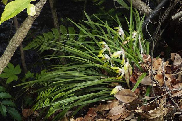 シュンラン (春蘭) たくさん葉を繁らせた、元気な株も多くいました 2014.04.06 東京都小平市