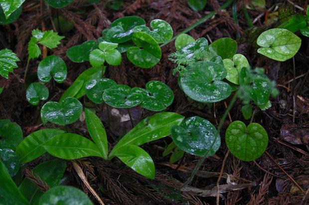 ミチノクサイシン  地面の落ち葉をかき分けて探しても、花の痕跡もないとはどうしたことか?