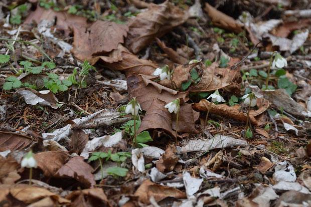半ば落ち葉に埋もれ、まったく目立たないが、この一帯では千株単位で生えているかも知れない。