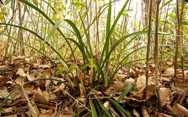 シュンラン (春蘭) ラン科 シュンラン属  2007.04.08 狭山丘陵