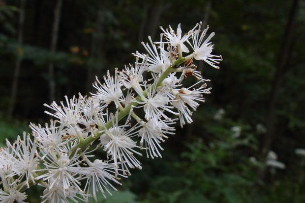 サラシナショウマの花には花柄があります(似た花のイヌショウマにはありません)