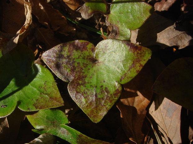 3つに浅裂し、先がややとがる葉がミスミソウの名の由来。 葉は根生し長い柄があります。