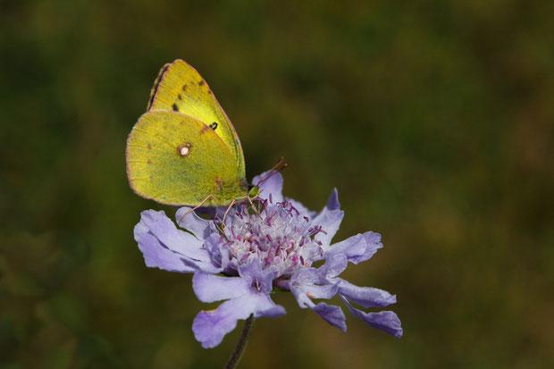 マツムシソウで吸蜜するモンキチョウ (紋黄蝶) シロチョウ科