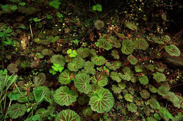 ハナネコノメ自生地は、ユキノシタの葉が占拠していました。しばらく選手交代ですね。
