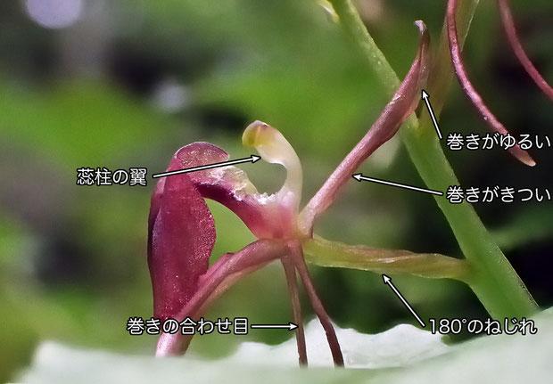 #7 フガクスズムシソウの花の側面 - 2