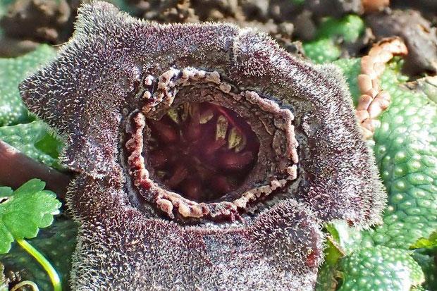 雄しべは12個、雌しべの花柱は6個 白っぽく見えるのは裂開した葯の花粉