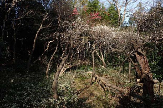 カフェの庭 梅が咲き始めていた