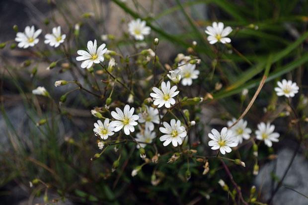 クモマミミナグサ (雲間耳菜草) ナデシコ科 ミミナグサ属  咲き残っていた
