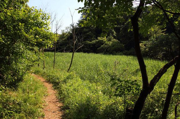 ヒメザゼンソウ自生地の奥に広がる湿地 花は特になかった