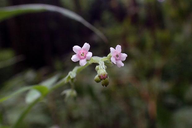 オニルリソウの花 直径4〜5mm 残り花だが咲き始めのためか薄い桃色をしていた