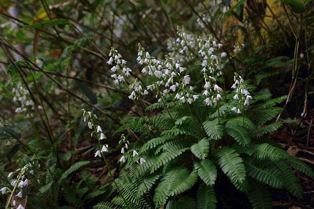 オサバグサ (筬葉草) ケシ科 オサバグサ属 Pteridophyllum racemosum  2008.06.14 福島県 帝釈山