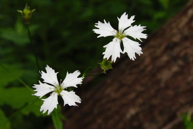純白で清楚なセンジュガンピの花  縁が不規則な形に切れ込むのがイイ