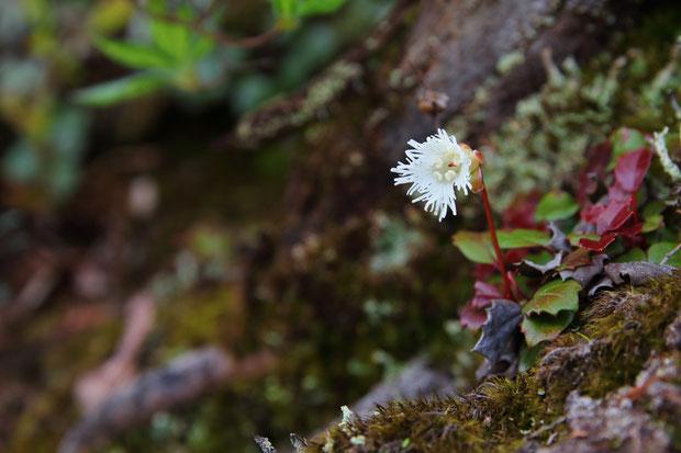 ヒメイワカガミ (姫岩鏡) Schizocodon licifolius Maxim.