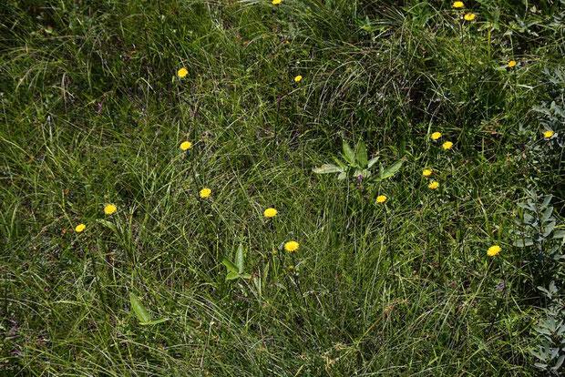 オゼミズギク (尾瀬水菊) キク科 オグルマ属  ミズギクとの違いは、葉の腺点を調べないとわからない