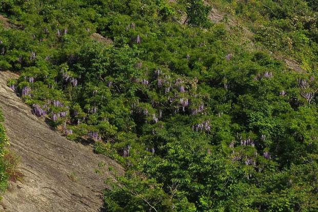 遠くの山肌には、フジが元気よく花を咲かせていた