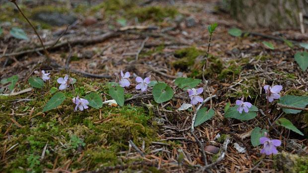 ヒナスミレ (雛菫) この場所では寒さのせいか、地面近くにへばりつくように咲いていた