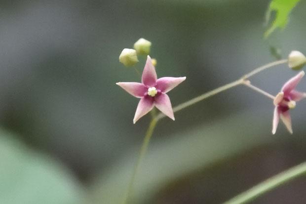 クサナギオゴケ 色味が薄い花