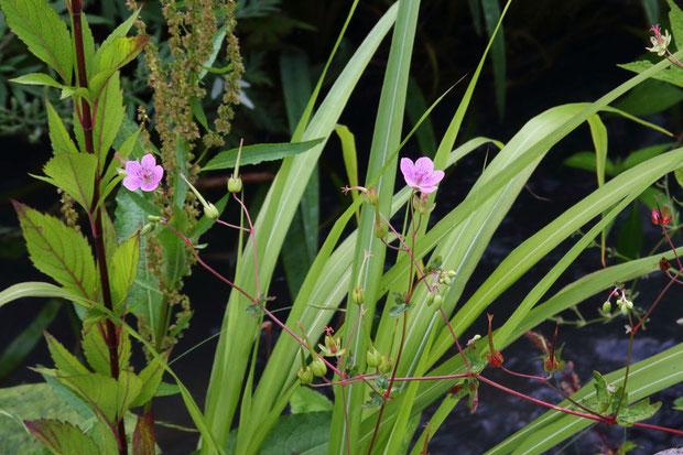 ハクサンフウロ (白山風露) フウロソウ科 フウロソウ属  花はほとんど終わっていた
