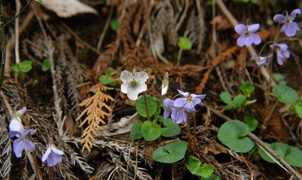 オトメスミレ (乙女菫) スミレ科 タチツボスミレ類 白い花です。周りにいるのはタチツボスミレ