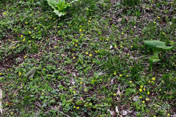小さくてわかりにくいですが、黄色の花はすべてオオコガネネコノメソウです。  alt=920m