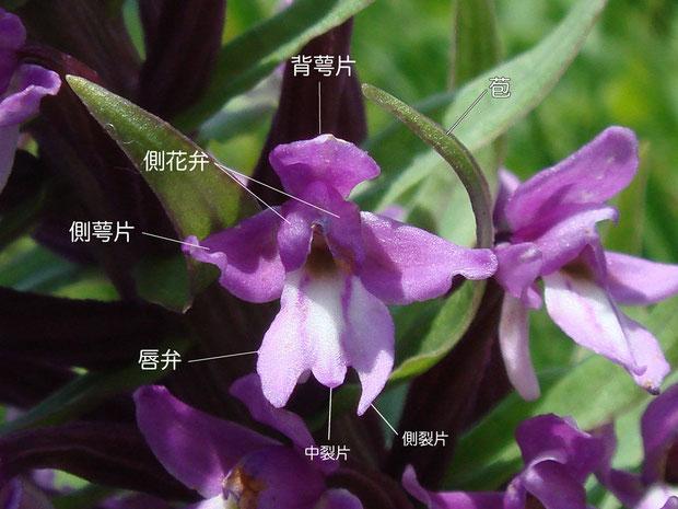 ノビネチドリの花の構造-1(背萼片、側花弁、側萼片、唇弁、苞)