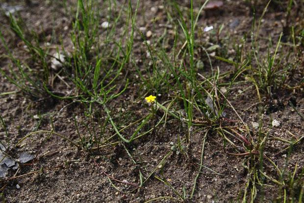 イトキンポウゲ の茎は長さ4〜30cmほどになり、地を這い、分岐して節から根と葉を出します。