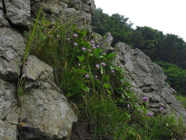 アサツキ 花が大きいので、エゾネギである可能性もある