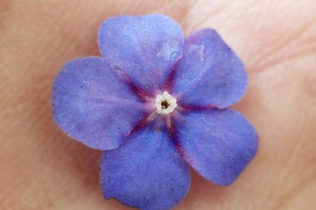 ルリソウの落ちていた花