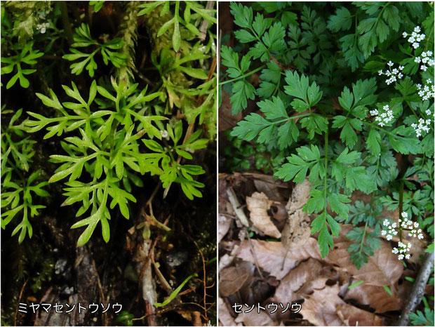 #3 ミヤマセントウソウ(左)とセントウソウ(右)の葉の形状比較