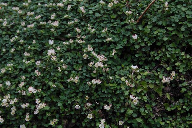 ハナネコノメ (花猫の目) ユキノシタ科 2013.03.10 高尾山山麓