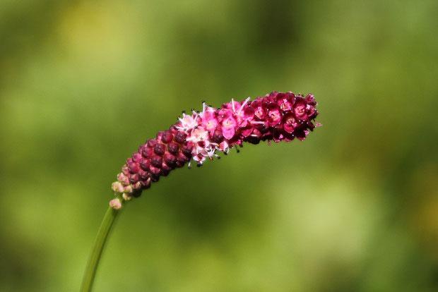 ミヤマワレモコウ  雄しべが萼片より長く突き出す。 先端の花は終わり、基部はまだ蕾