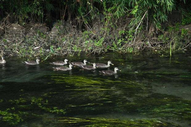 この川の水は驚くほど澄んでいます。水鳥たちもゆったりと。
