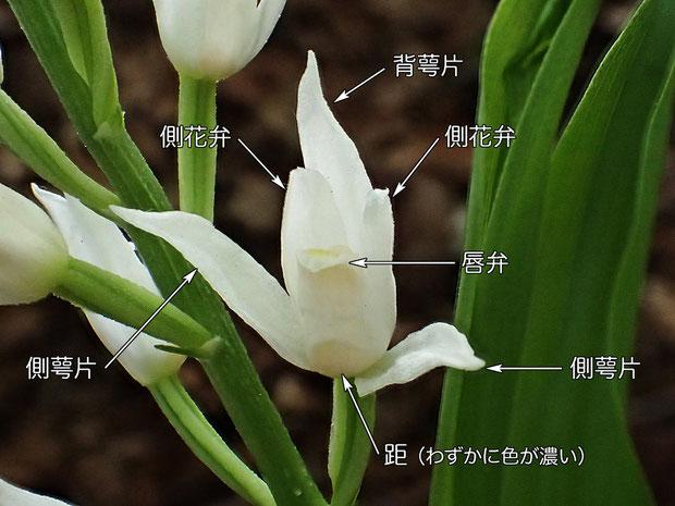 #4 クゲヌマランの花の構造 花の正面から(背萼片、側花弁、側萼片、唇弁、距) 2015.04.24 東京都