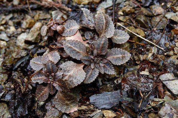 ヨゴレネコノメ (汚れ猫の目) ユキノシタ科 ネコノメソウ属  この時期は、落ち葉のような地味さです