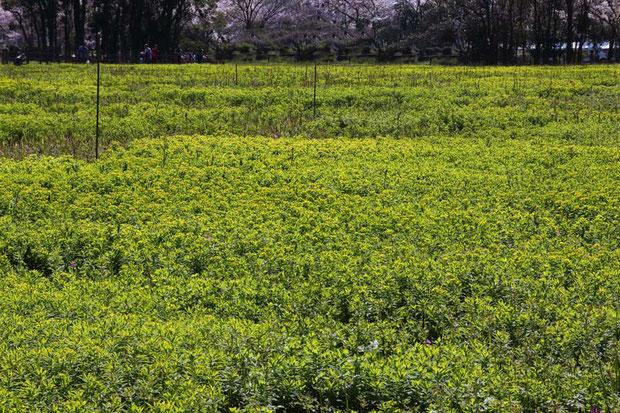 この場所で一番優勢な植物は、ノウルシです。 準絶滅危惧の植物ですが、数は圧倒的です